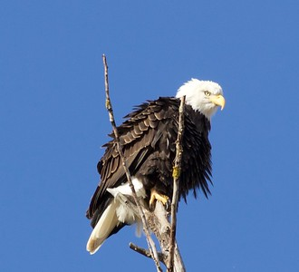 Bald Eagle at the Refuge
