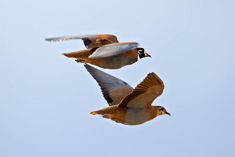 Flock Bronzewing pair in flight
