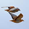 Flock Bronzewing pair in flight