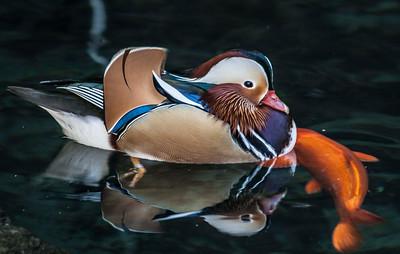 Mandarin Duck with Goldfish