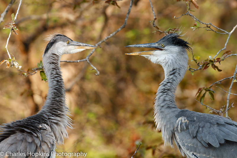 Grey Heron sub-adults