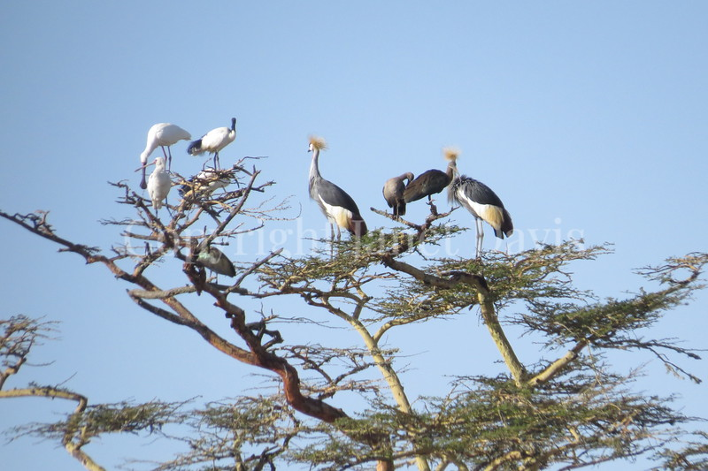 Balearica regulorum – Grey crowned cranes in acacia
