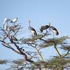 Balearica regulorum – Grey crowned cranes in acacia