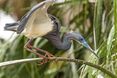 Tricolored Heron.