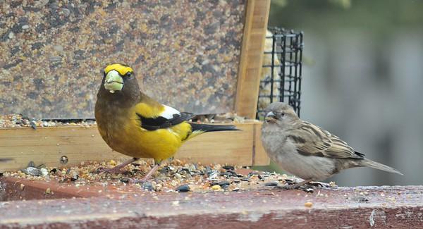 Evening Grosbeak, male and female House Sparrow