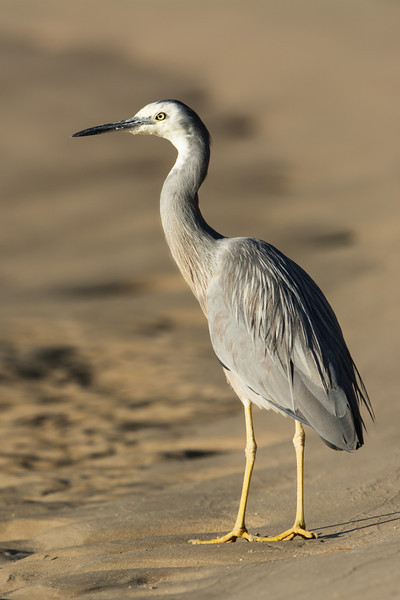 White-faced Heron, The Broadwater, Gold Coast, QLD, Australia.