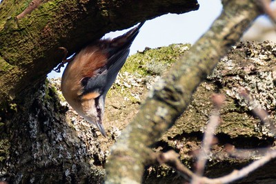 Nuthatch at Bowdown Woods