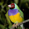 Gouldian Finch,<br /> Currumbin Wildlife Park,<br /> Gold Coast. Qld.