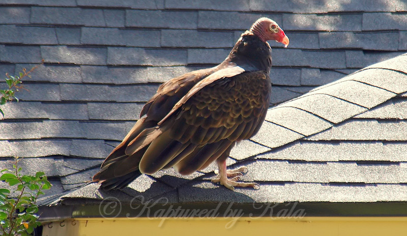 Turkey Vulture Basking In The Sun