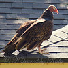 Turkey Vulture Basking In The Sun