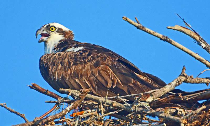Osprey on its nest.