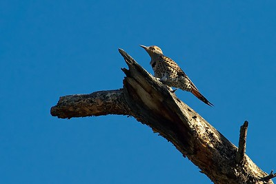 Redshafted Northern Flicker