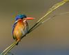 Malachite Kingfisher #1