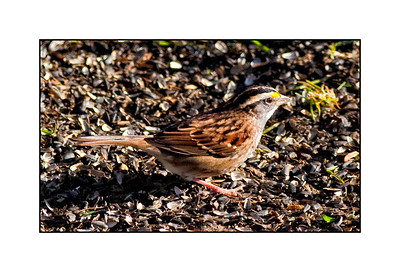 White-throated Sparrow (tan-striped) (Zonotrichia albicollis)