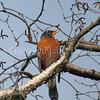 Turdus migratorius – American robin 5