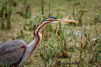 Portrait of a purple heron