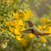 Allen's Hummingbird in native Bladderpods.