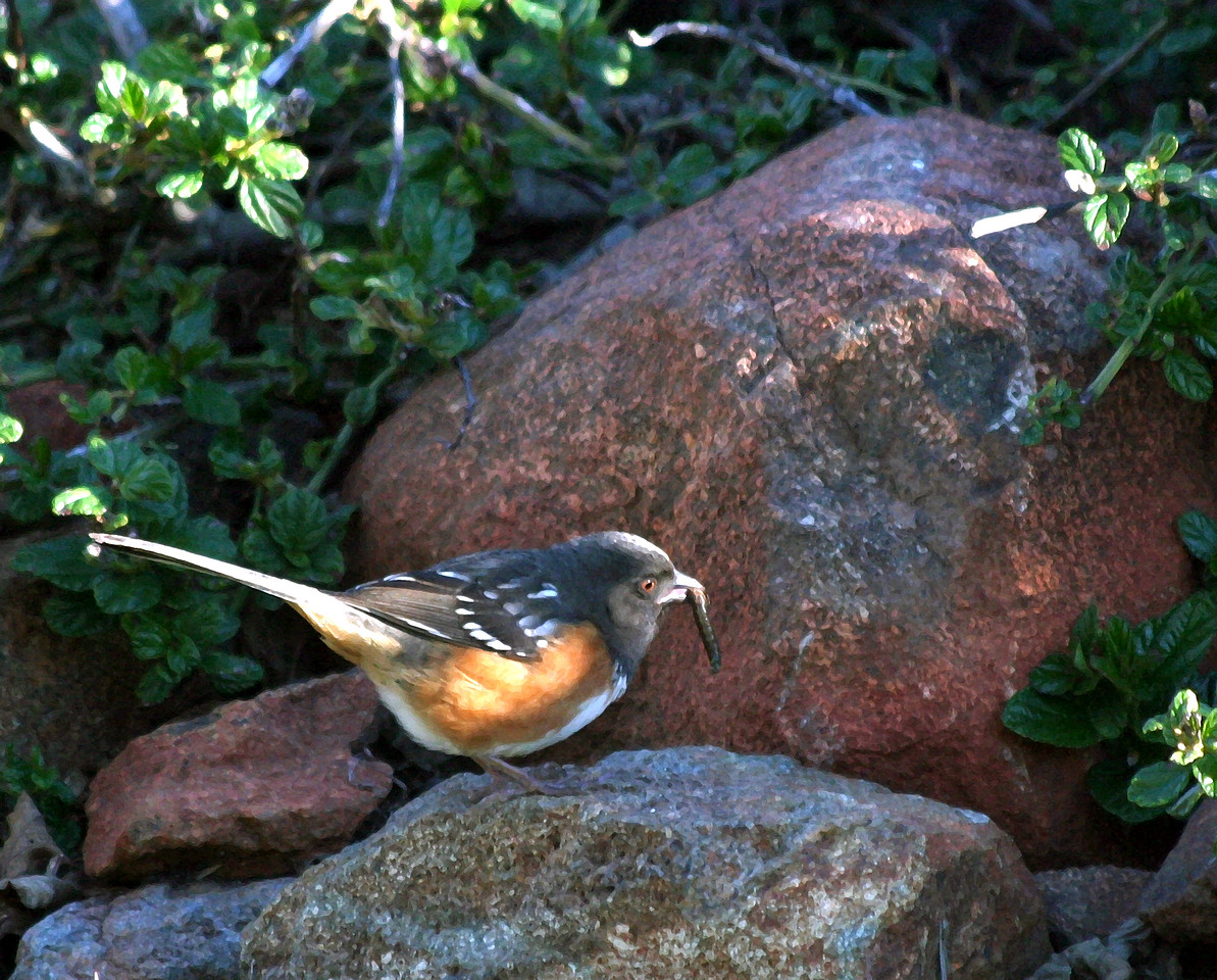 """NAB-020906-14AR """"Spotted Towhee with Worm"""" Formerly known as the Rufous-sided Towhee.  Shingle Springs, California.  Art shots look best when printed in matte finish."""