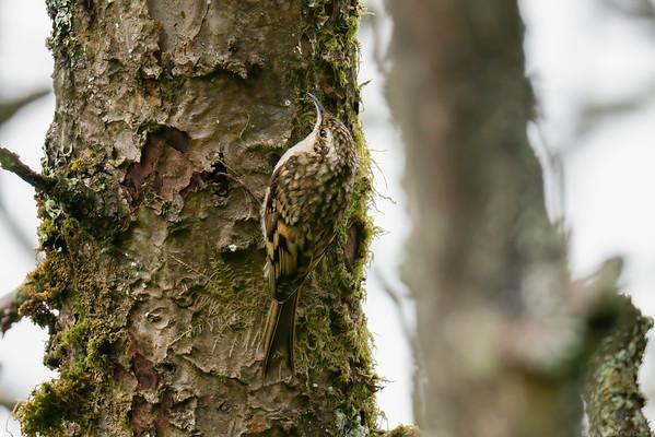 Treecreeper at Speen