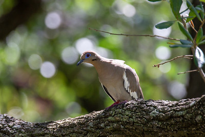 Mourning Dove at Discovery Green