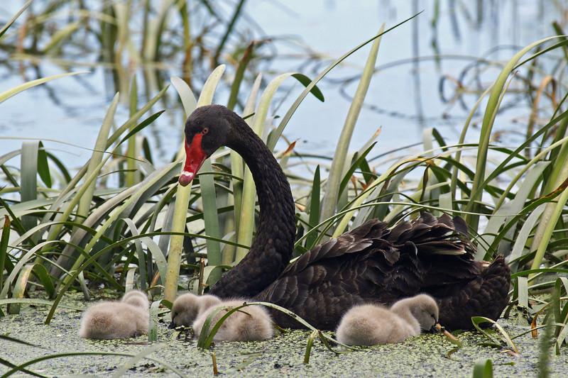 Black Swan (Cygnus atratus) & cygnets