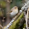 ChiffChaff on Freemans Marsh Hungerford