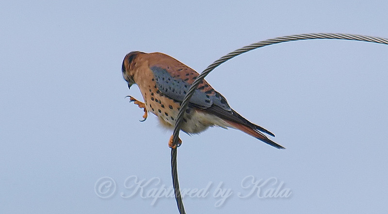 Kestrel Calisthenics Step 3