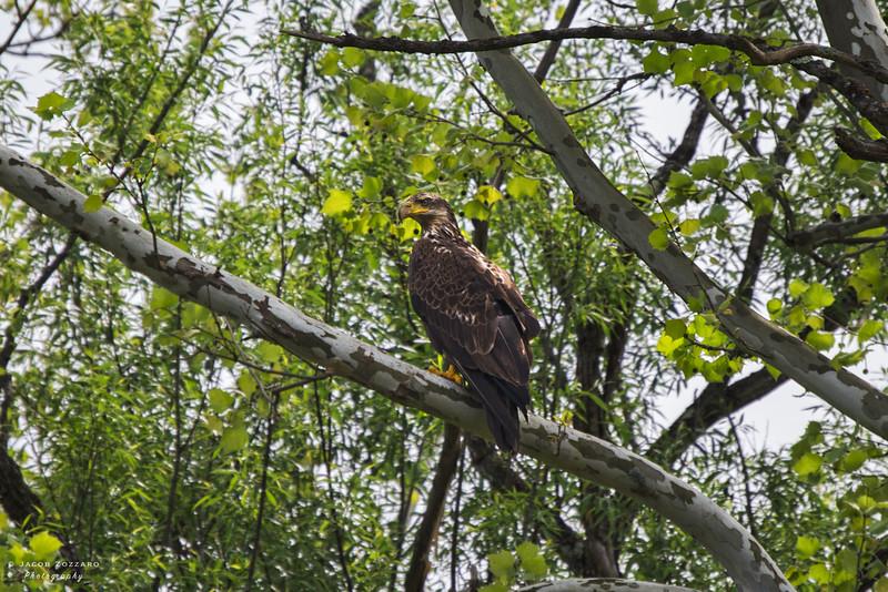 Juvenile Bald Eagle 2