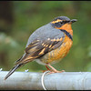 Varied Thrush (male)