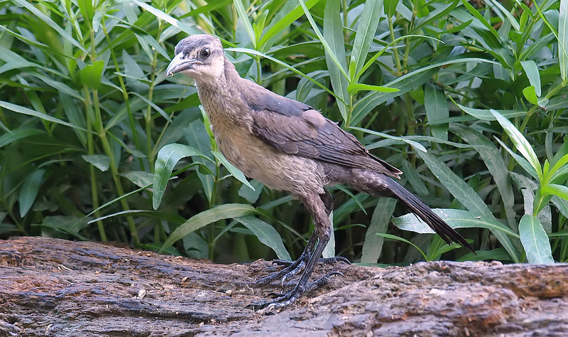 Juvenile Great-tailed Grackle