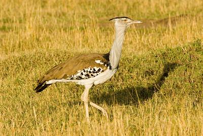 Kori Bustard, Masai Mara, Africa.
