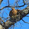 Mama Hawk Breaks Off a Small Twig