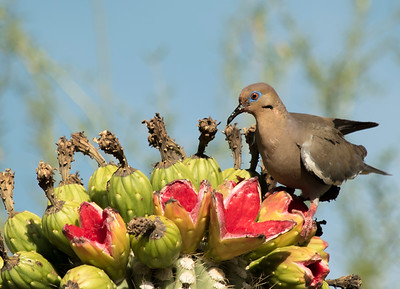 White Wing Dove on Saguaro