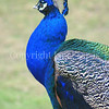 Pavo cristatus –Indian peacock neck feathers 1