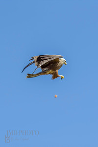 Bird of prey mid-air catch. Skillful red kite feeding display.