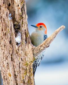 Redbellied woodpecker, Melanerpes carolinus
