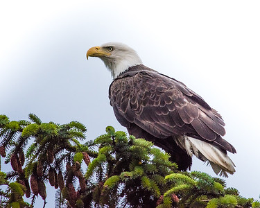 Bald Eagle Resting on Spruce Branch