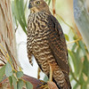 Brown Goshawk juvenille