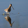 African Snipe