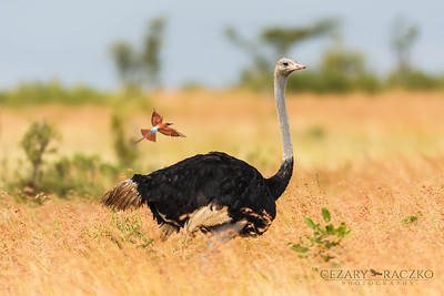 Common Ostrich (Struthio camelus) and Southern Carmine Bee-eater (Merops nubicoides)