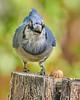 Blue Jay and Peanut