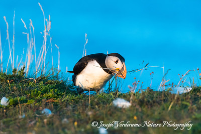 Puffin gathers nesting material