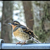 varied Thrush ♀ ~ Ixoreus naevius