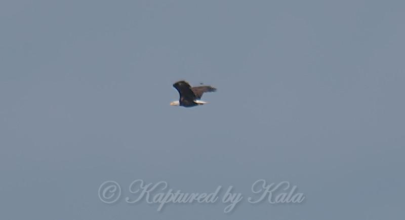 Bald Eagle Documentation Shot