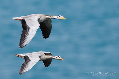Bar-headed Geese (Anser indicus)