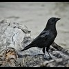 The Friendly Crow