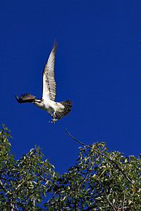 Osprey in flight 2.