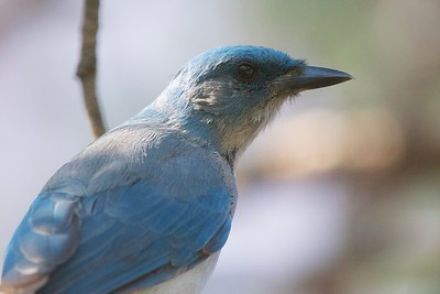 Mexican Jay (Aphelocoma wollweberi)