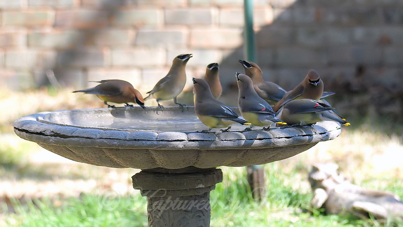 Group Of Waxwings View 1