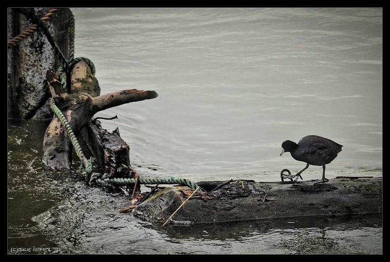 American Coot—(aka Mud Hen)